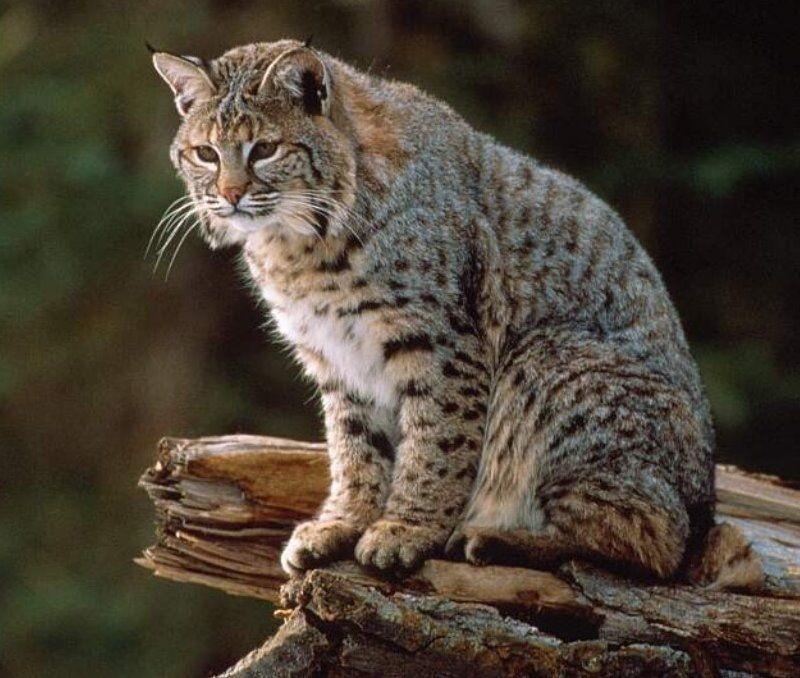 Bobcat   bobcat description the bobcat lynx rufus is a ...