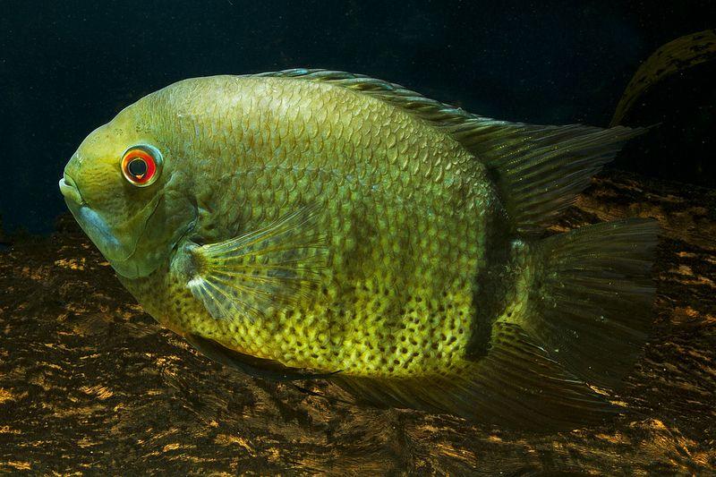 Green Severum Heros Appendiculatus Heros Efasciatus African Cichlid Aquarium Cichlids Fresh Water Fish Tank