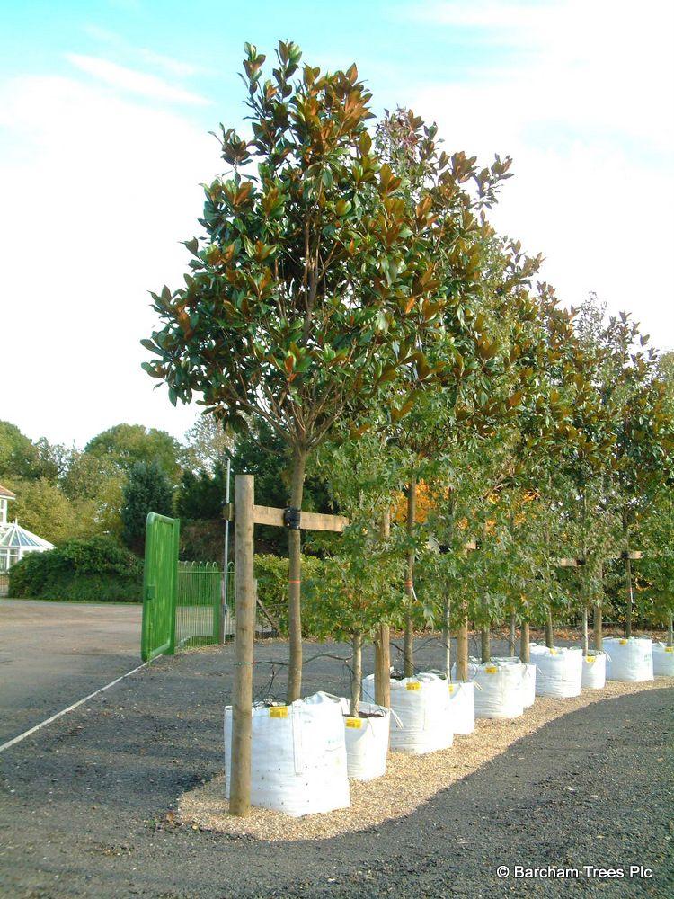 Instant Magnolia Grandiflora