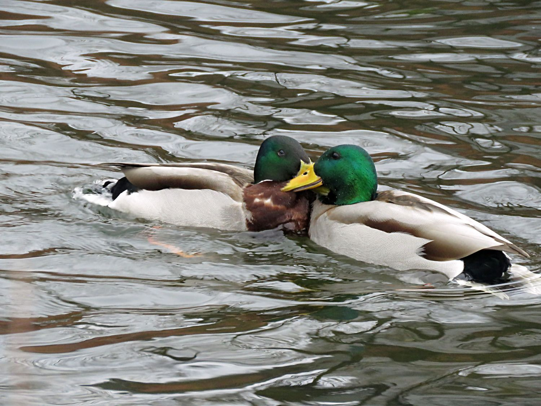 Quack Pack by Kalevi Elmala