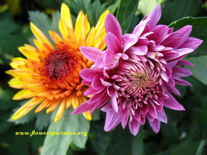 picture of chrysanthemum flower