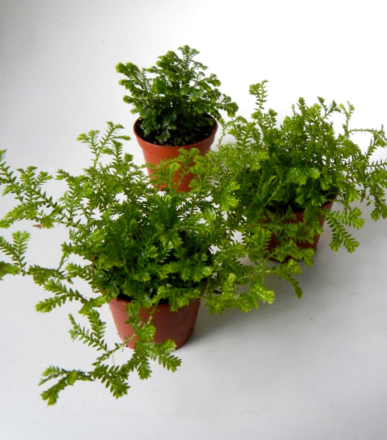 Mini Mossy Fern Plants  Potted Set Of 3 Fairy