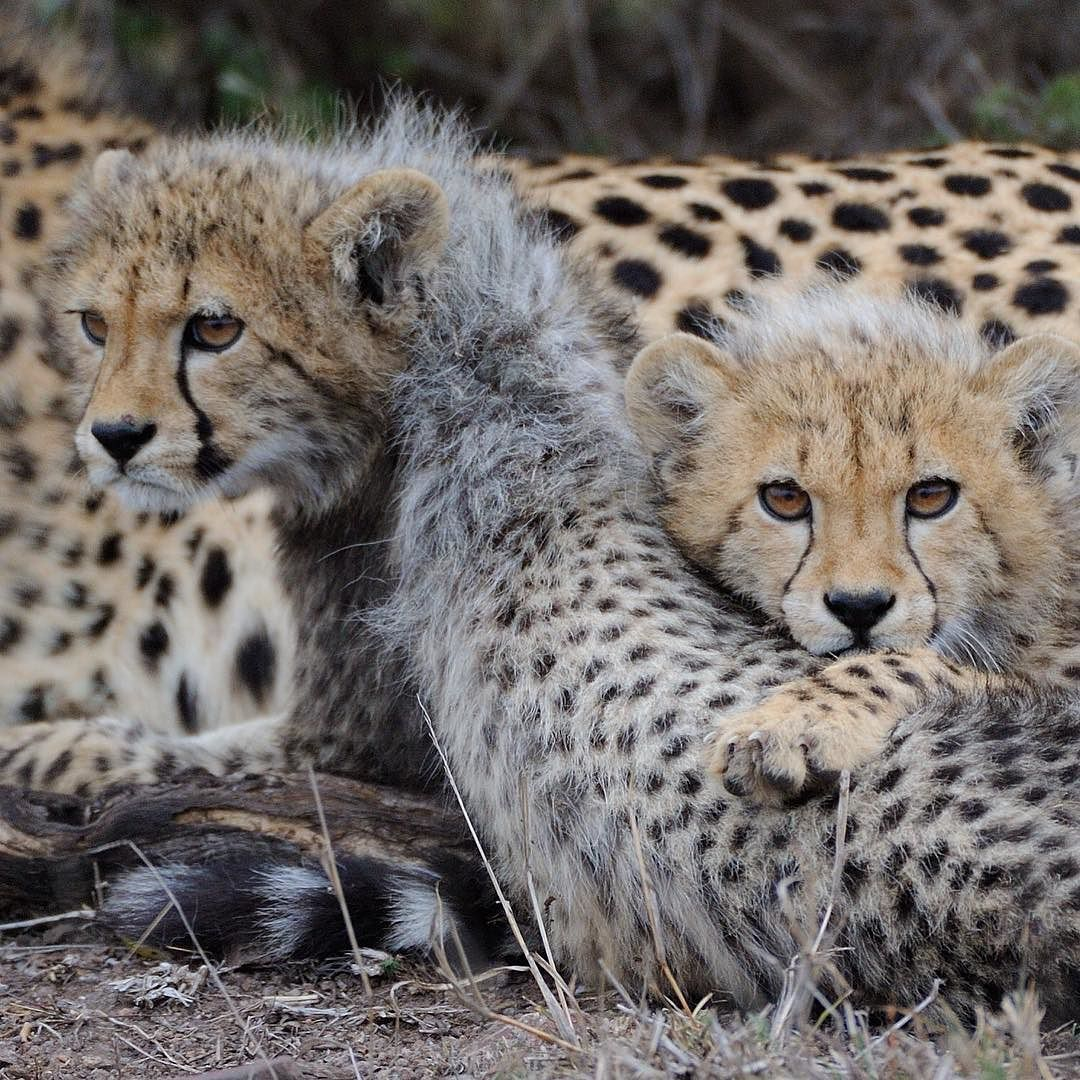 Two cheetah cubs rest near their mother while their sibling plays in a nearby tree. These cubs rarely stopped jumping and running the morning we watched them.  The hair on the back of their necks is called a mantle and is thought to camouflage cubs in grass concealing them from predators. Taken on safari in South Africa. Photo by @andywcoleman #bigcats by natgeotravel