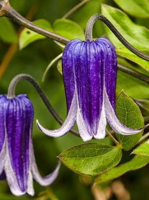 Pure Nature, Purple Clematis | Backyards Click