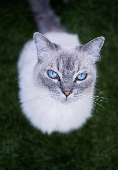 Blue Cat Pictures Download Free Images on Unsplash in