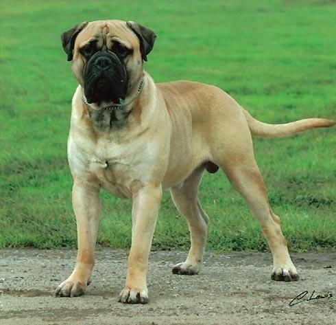 Bull Mastiff Import Quality Pups For Sale Pets Amp Pet Care Dwarka Delhi 11348158 Bull Mastiff Dogs Dog Breeds