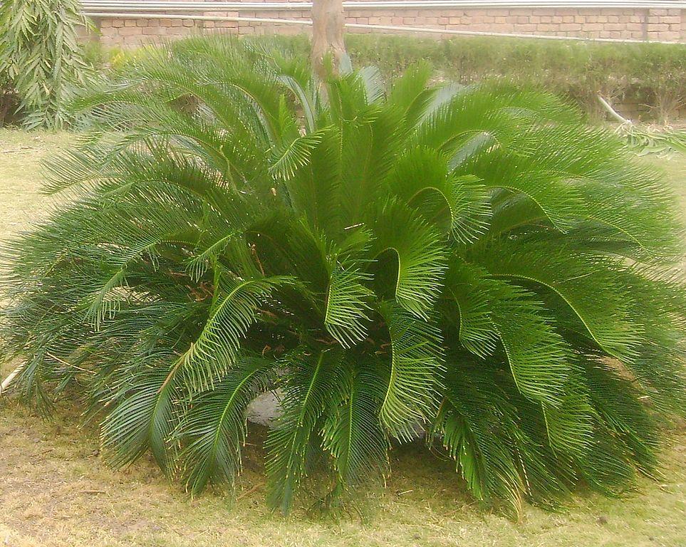 cycas revoluta sago palm sago cycad is a plant. Black Bedroom Furniture Sets. Home Design Ideas
