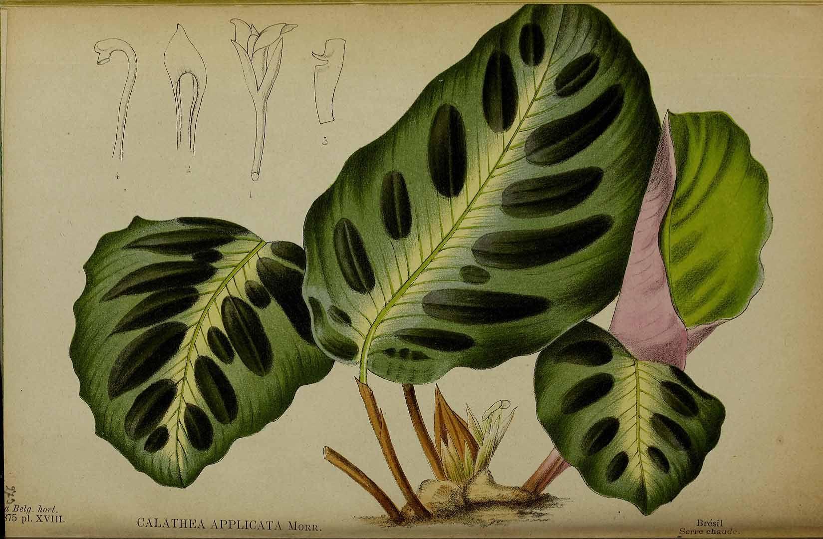 204344 Calathea applicata Jacob-Makoy ex E.Morren / La Belgique horticole, journal des jardins et des vergers, vol. 25: t. 18 (1875)