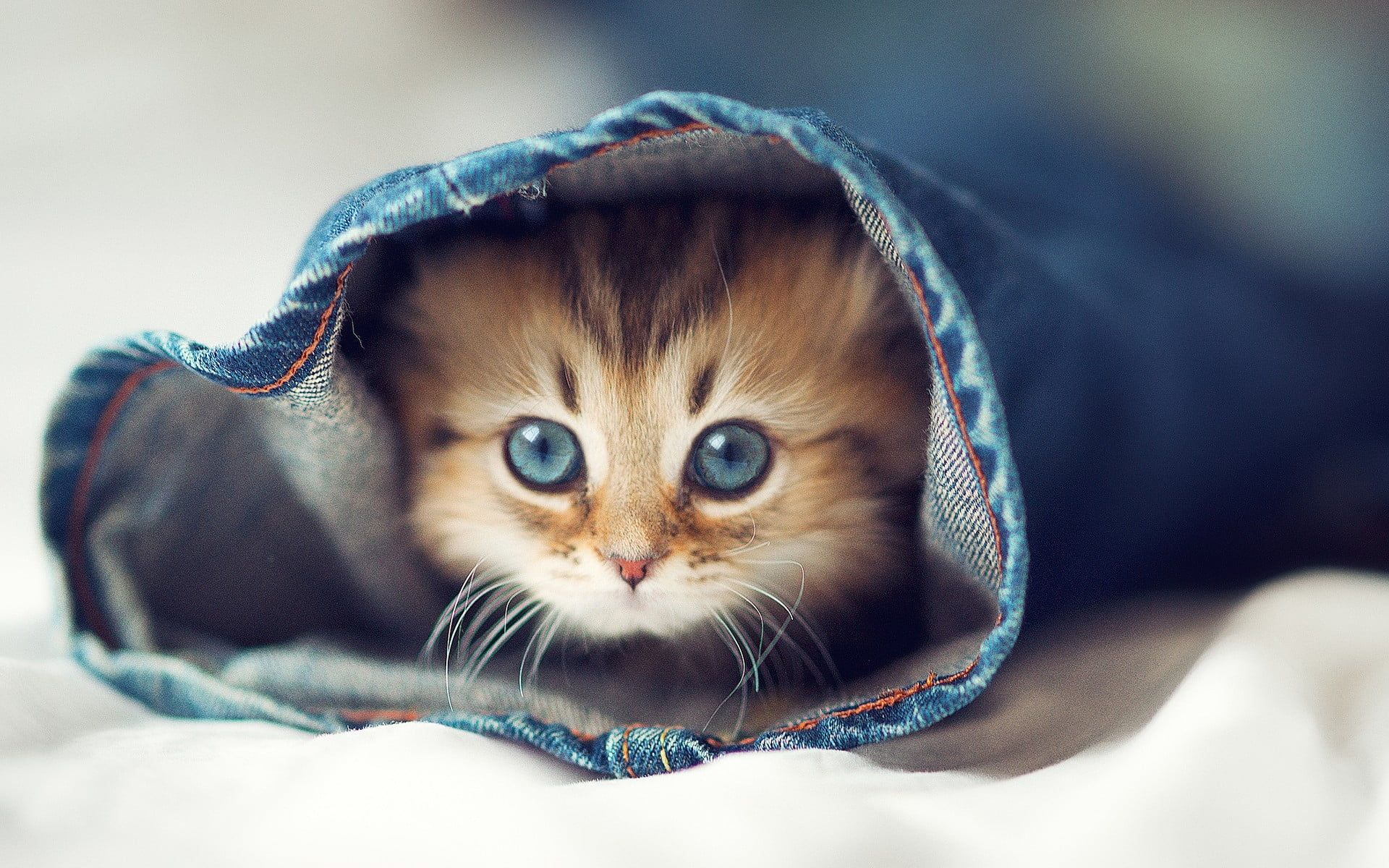 Short Fur Brown And Black Kitten Animals Blue Cats Eyes Jeans