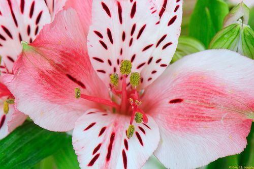 Allium Ampeloprasum Alstroemeria Drought Resistant Plants Flower Names