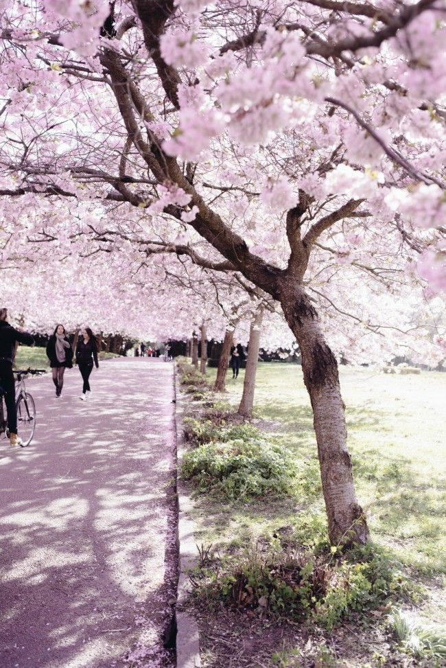 Cherry Blossoms Again Lessons On Persistence Cherry Blossom Beautiful Nature Blossom