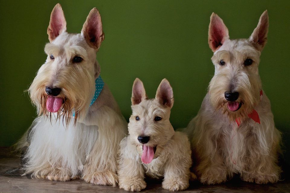 Scottish Terrier and Dog News   We get the Scottie scoops ...