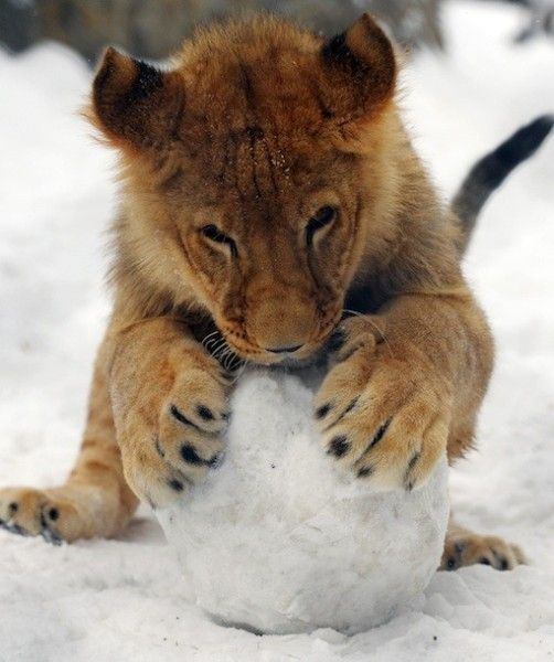 Move aside snow leopards, this little lion loves the cold stuff too. A resident of the Belgrade Zoo, this cub takes Serbia's cold weather in stride, trying to make the best of the severe conditions.