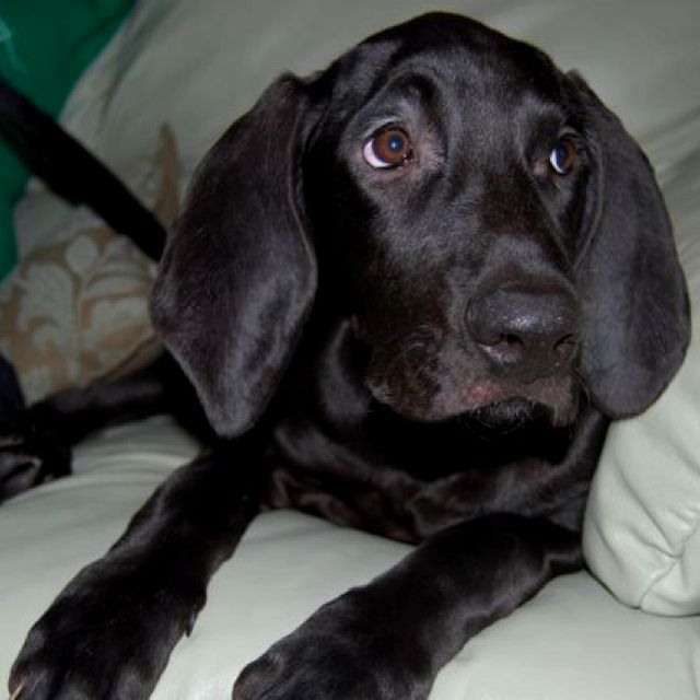 My Bloodhound Lab Mix Rescue Pup 3 Baby Dogs Lab Mix Puppies Dog Lovers