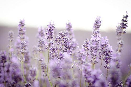 Lavender Lavender Flores De Lavanda Lavanda Campos De Lavanda