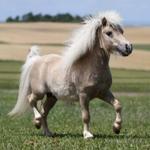 scarlettjane22:  sootypalominominiature horse http://www.domaineduvallon.com/