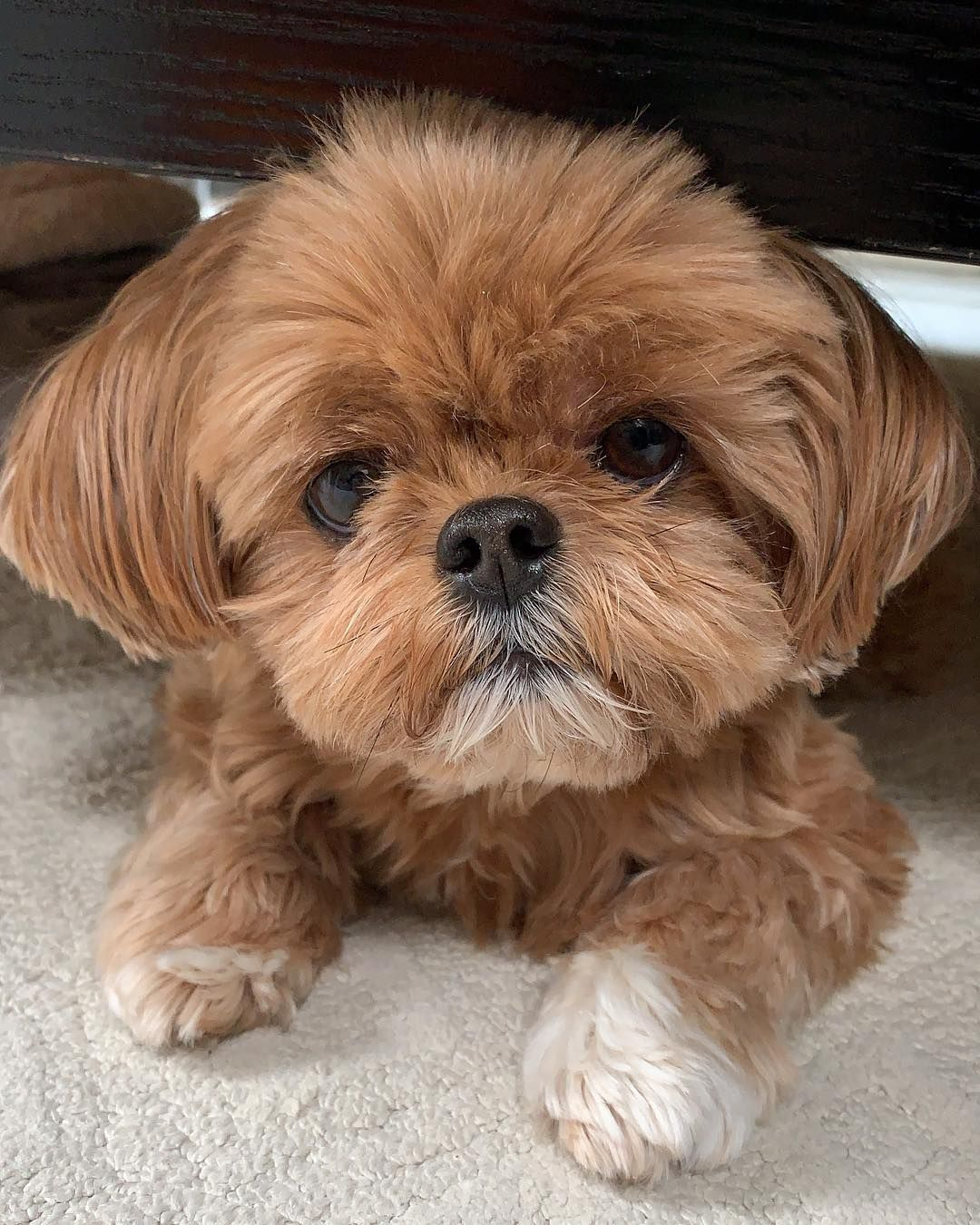 Peanut The Shorkie On Instagram What S The Password
