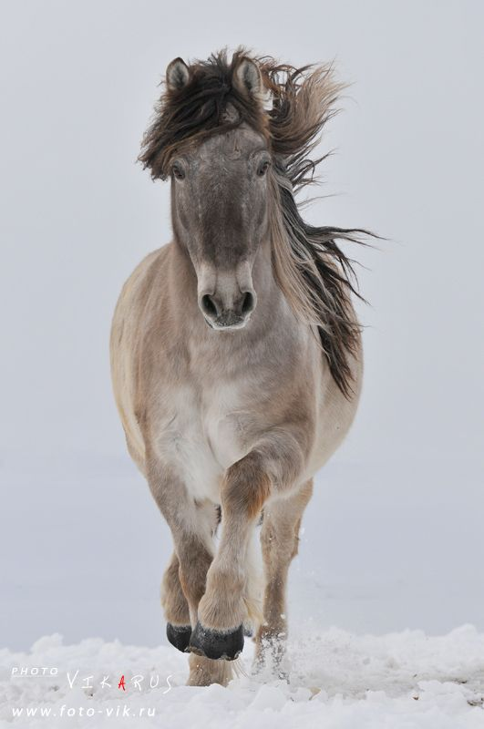 Yakutian horse.  Siberia, Russia