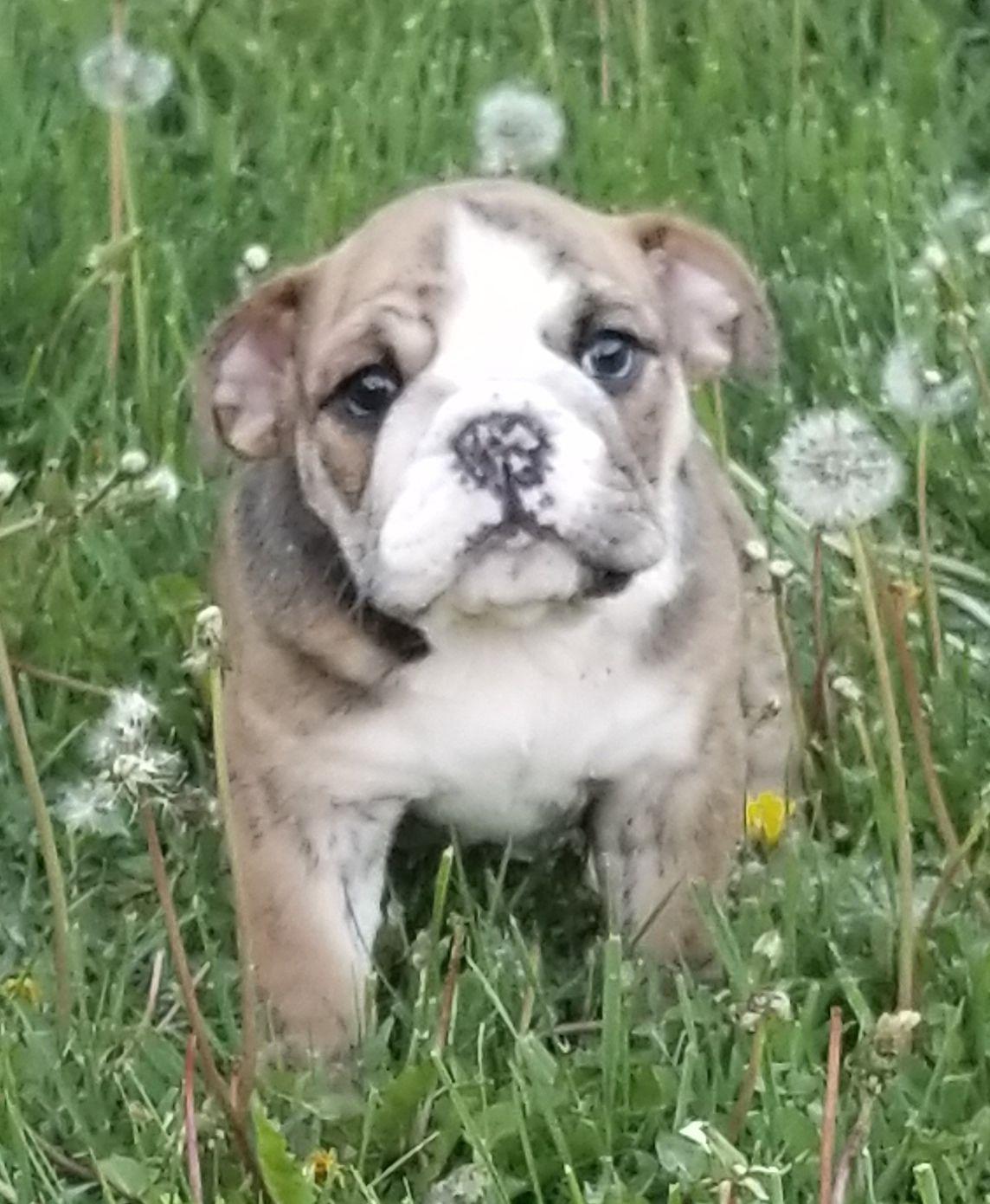 Lexie Is A Brindle Female English Bulldog Puppy American Born And