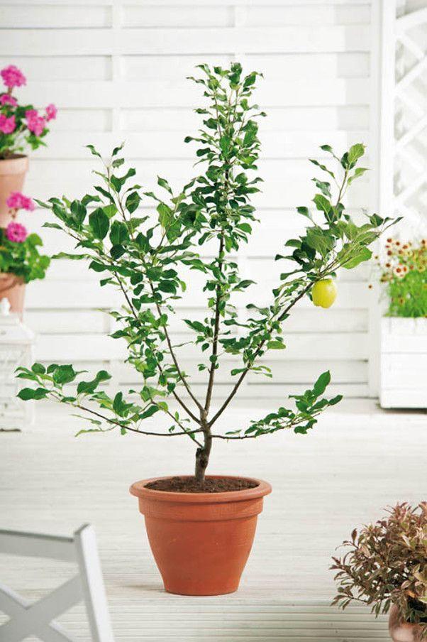 pommier nain garden bonsai fruits pinterest pommier fruitier et arbres fruitiers. Black Bedroom Furniture Sets. Home Design Ideas