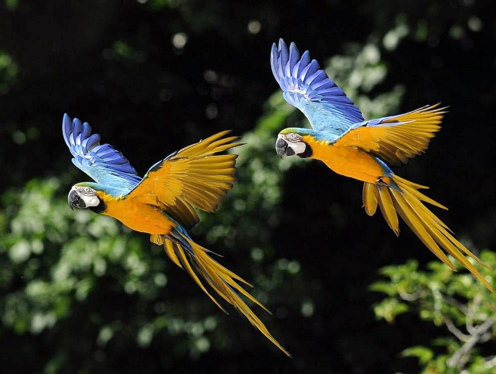 Free Flying Bird Show summer 2020 - Paradise Park |Blue Macaw Parrot Flying