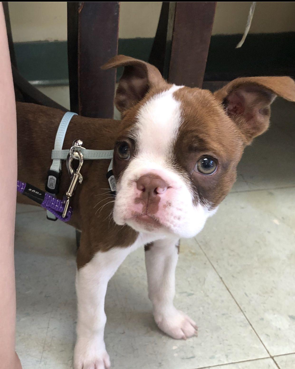 Available Puppies Miniature Home Raised Boston Terriers For Sale In 2020 Boston Terrier For Sale Boston Terrier Miniature Boston Terrier