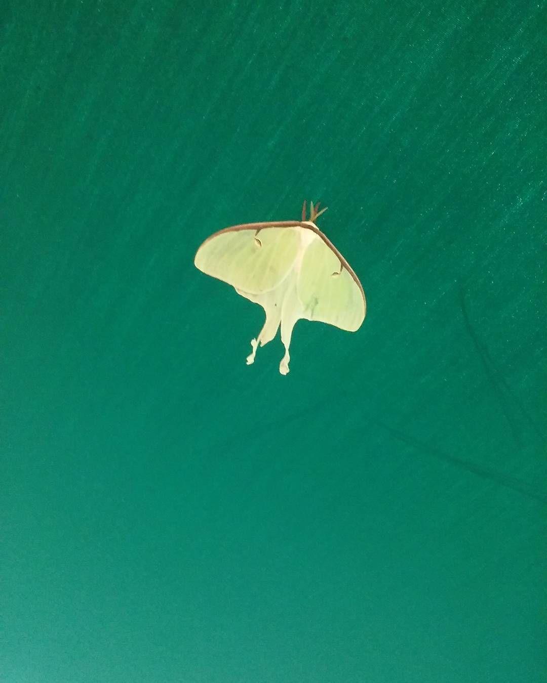 Visiting Luna Moth. Symbolism: rebirth regeneration ...
