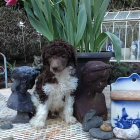 Tuxedo Standard Poodle Puppies For Sale From Akc Poodle Breeder