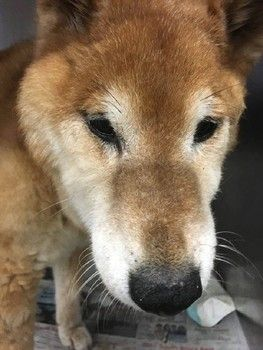 Lost and confused senior dog in need of help