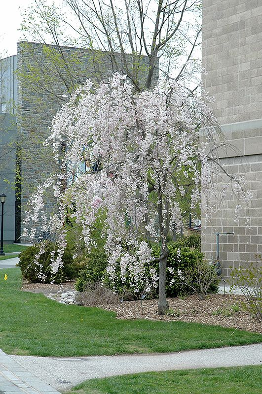 Click To View Full Size Photo Of Double Pink Weeping Higan