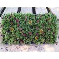 Color Splash Sedum Tile Sedum Plant Sedum Plant Sale
