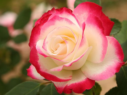 Red, pink, white rose | Dream garden, Gardens and Flowers