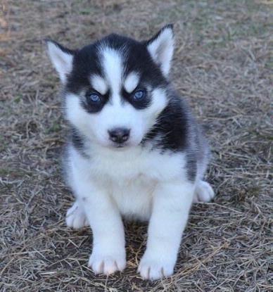 Siberian Husky Dog For Sale Los Angeles Ca