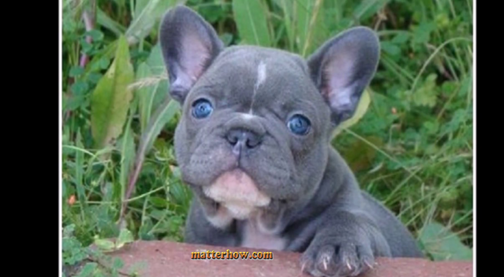 Is Blue French Bull Dog Puppies A Good Family Dog With Images