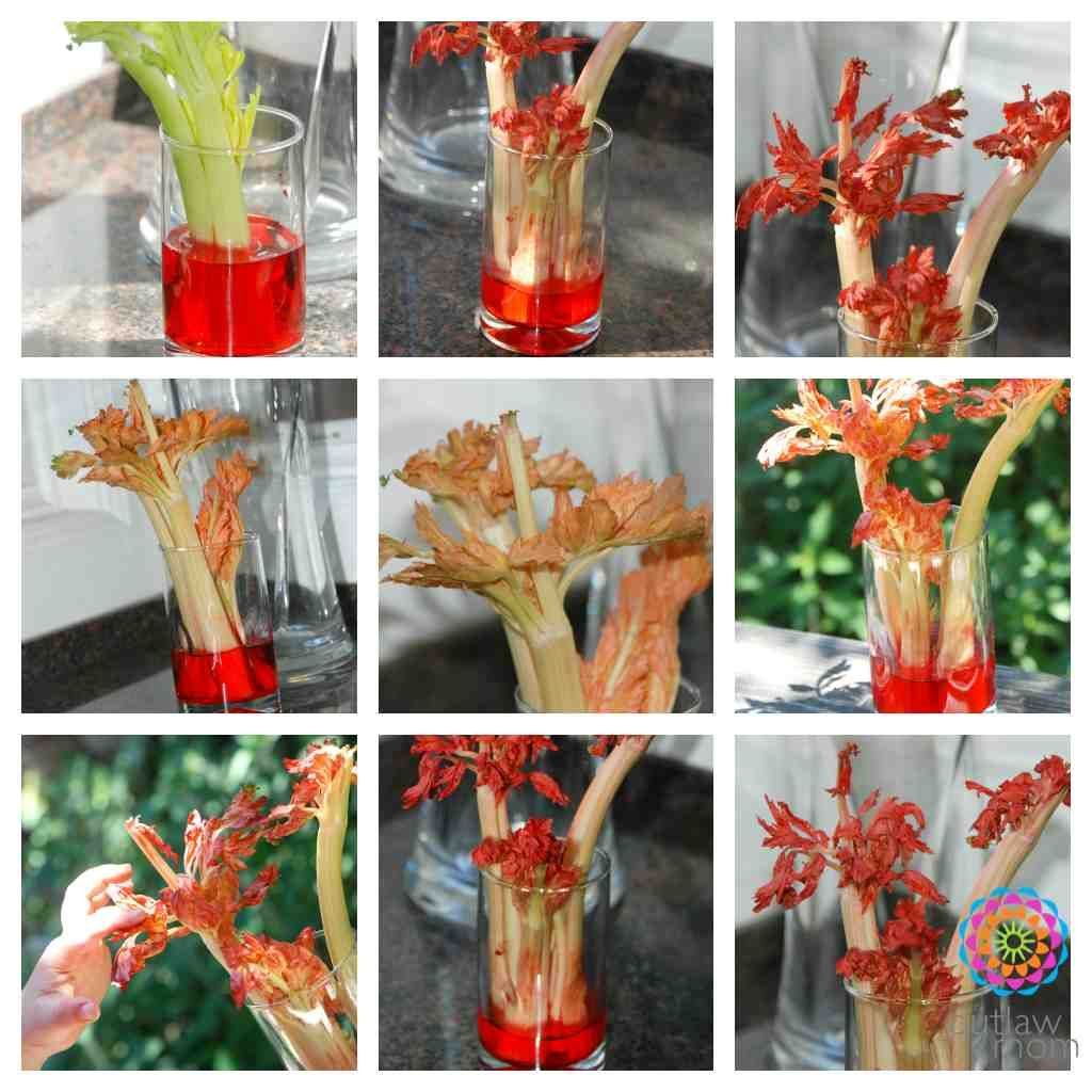 Play Science Experiment For Kids Celery Capillary