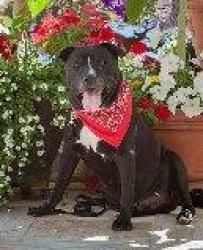 Cannon A Loveable Hunk is an adoptable Black Labrador ...