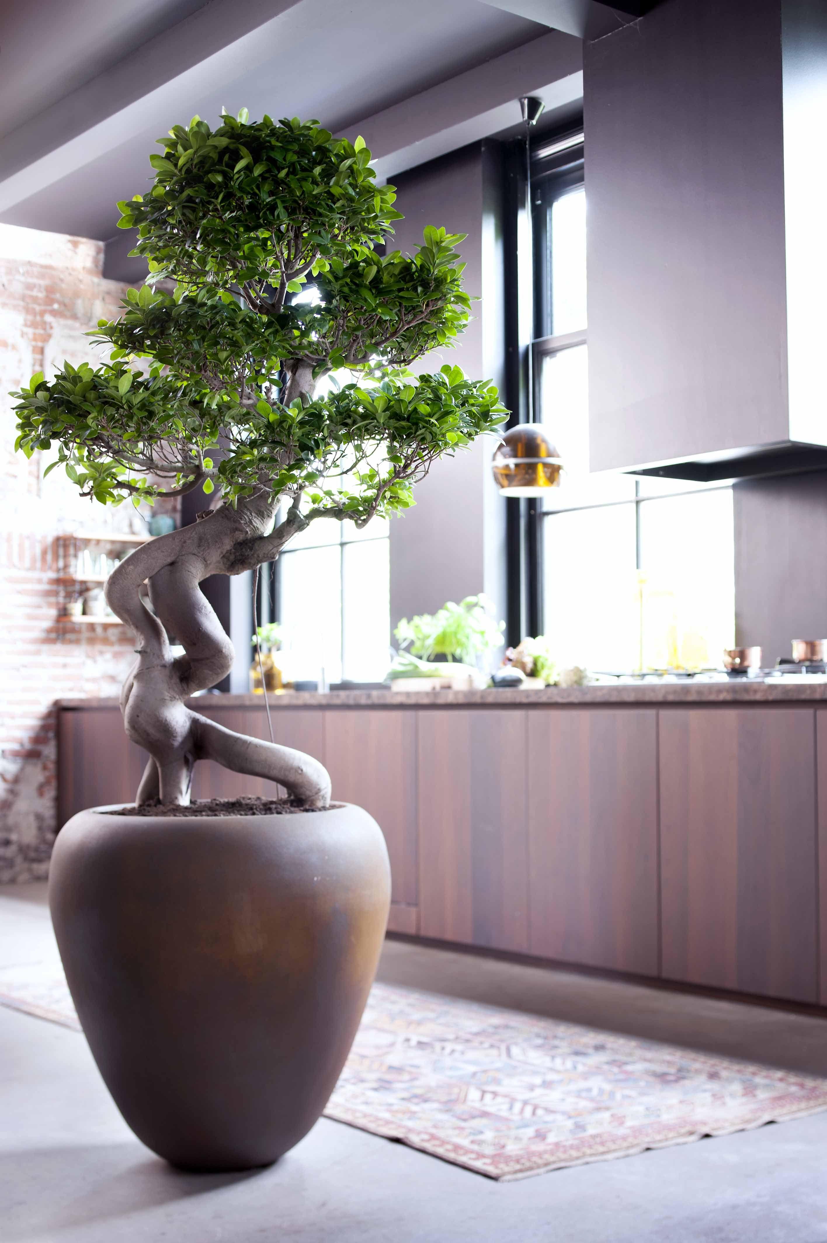 Pflanzenwunder Ficus Ginseng #pflanzenfreude | Pflanzen Für Zu ... Ficus Ginseng Bonsai Einpflanzen Tipps