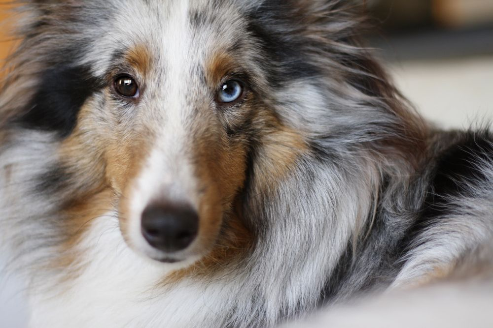 Blue Merle Blue Eye Sheltie