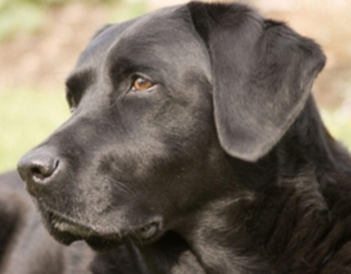 So Handsome Labrador Retriever Black Labrador Retriever Labrador Retriever Puppies