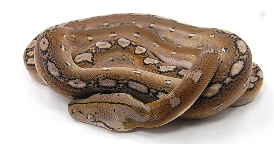 reticulated python platinum tribal | retics | Pinterest ...