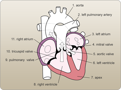 Labeled diagram of the heart | Heart diagram, Anatomy and ...