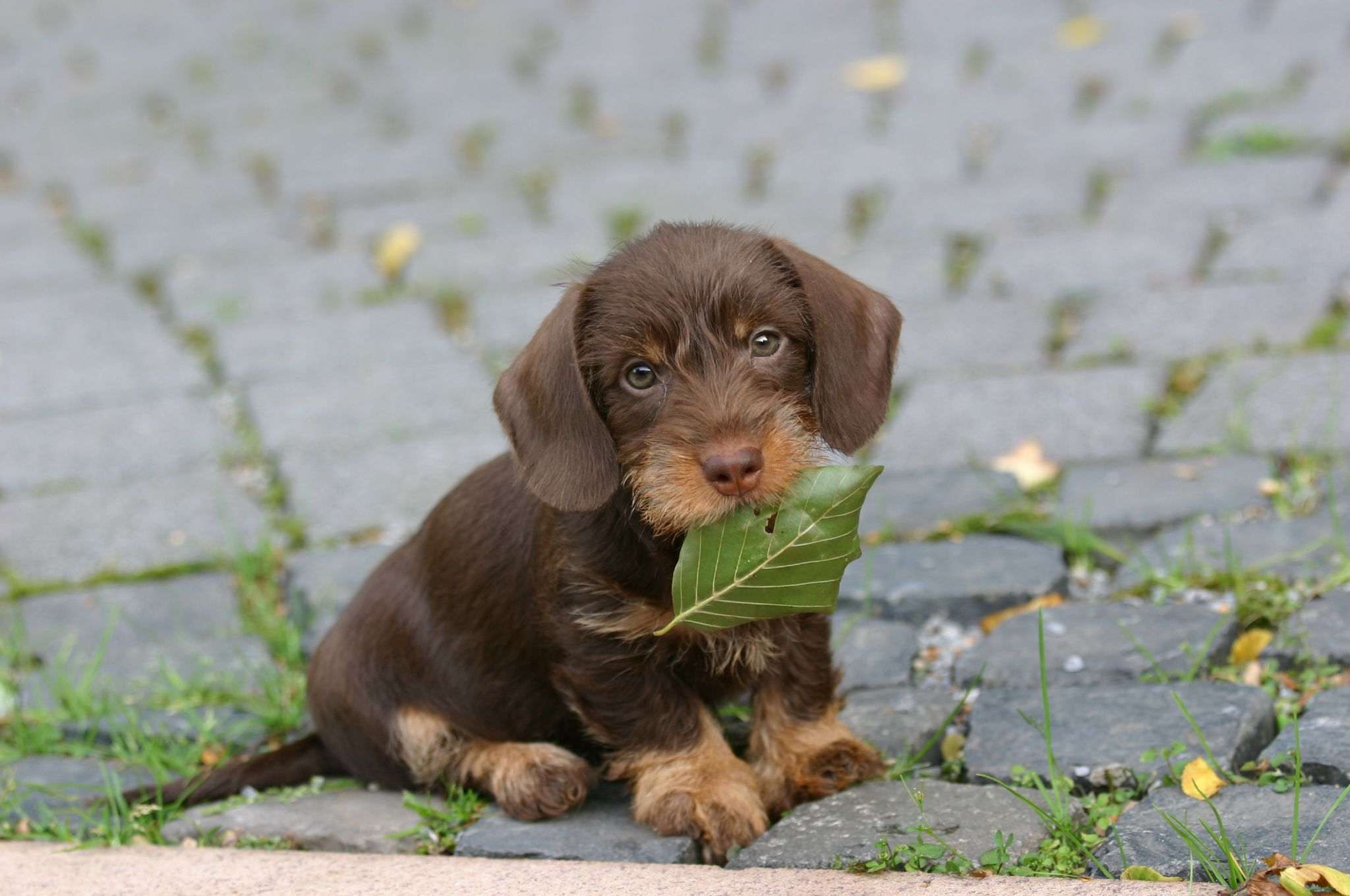 Dachshund Puppies Wallpaper For Desktop Wirehaired Dachshund