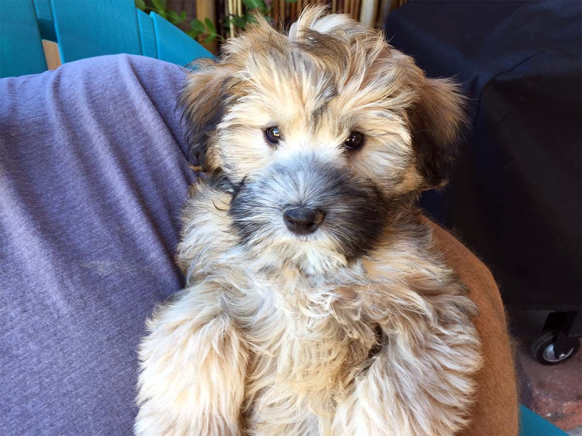 Miniature Whoodles Wheaten Whoodle World Whoodle Dog Whoodle Puppy Cute Dogs Breeds