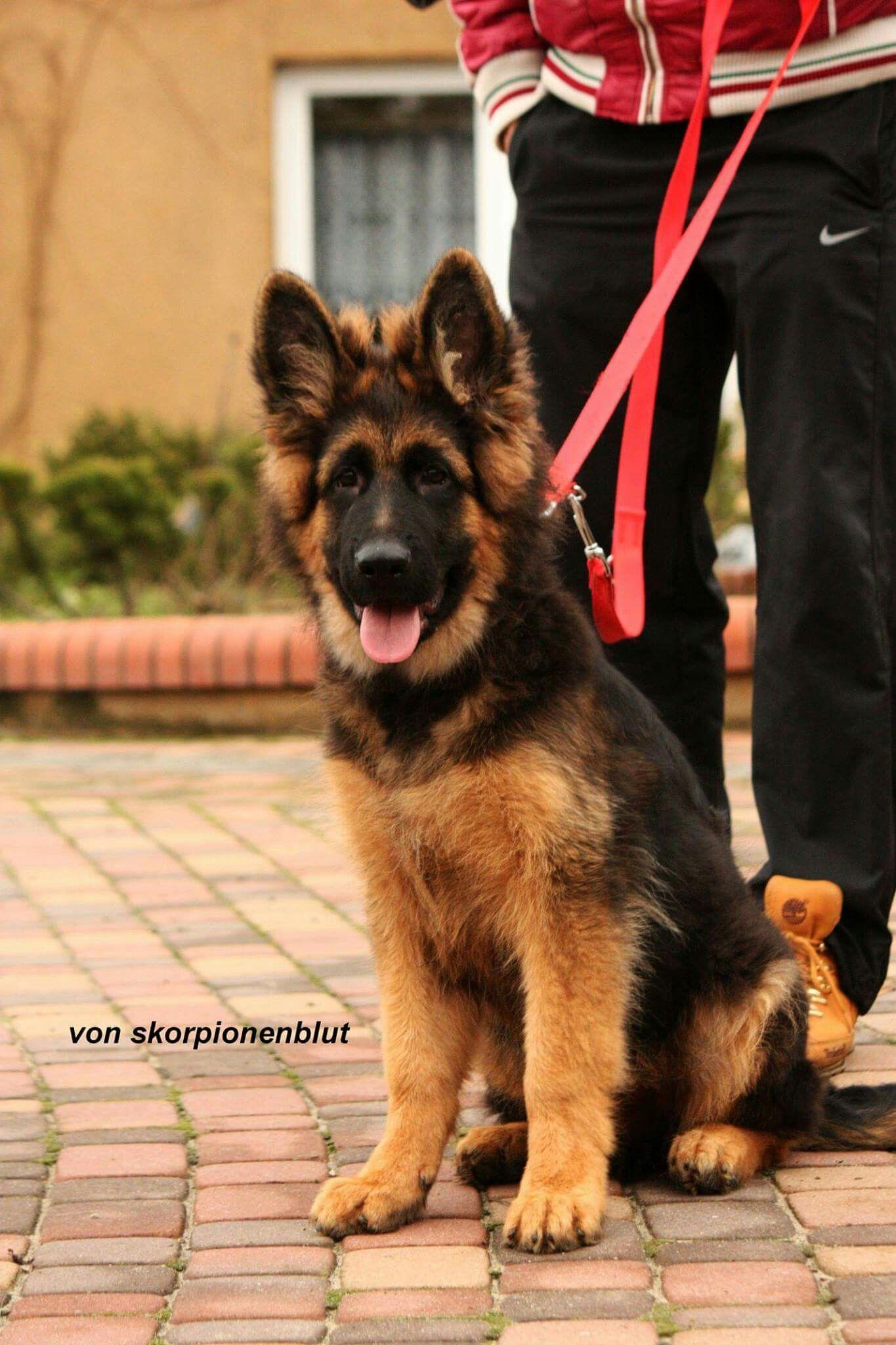 Pin By Rebecca On German Shepherd Puppies For Sale German