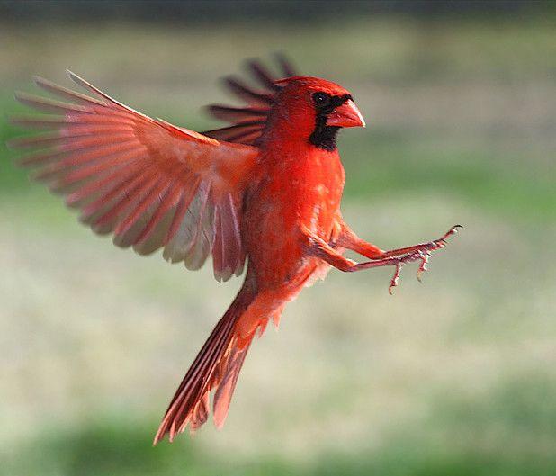 Cardinal   # Pin++ for Pinterest #