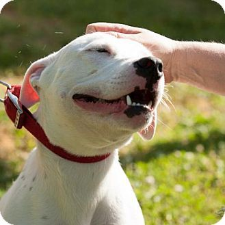 Adopt A Pet O Malley St Louis Mo American Bulldog Mix