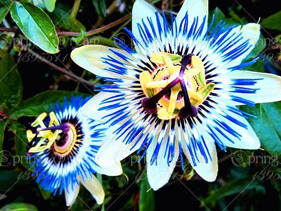 Pin By Cissy Betts On Flowers Passion Fruit Plant Rare 640 x 480