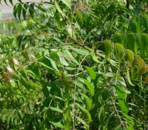 Neem Remedy for Healing a Yeast Infection