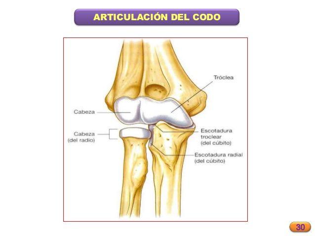 Diartrosis (TROCLEARTROSIS - ARTICULACION DEL CODO - HUMERO-CUBITAL ...