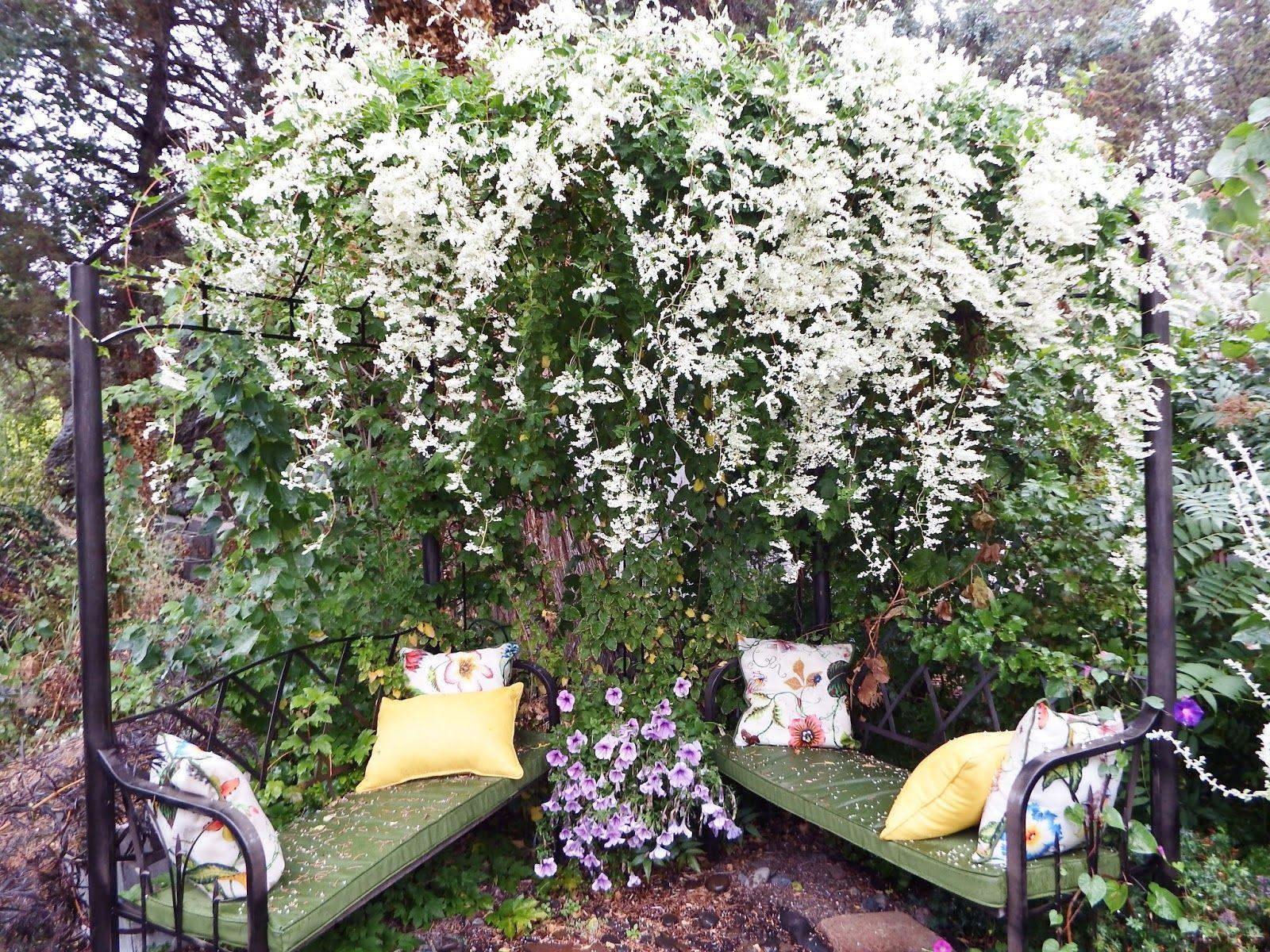 Silver Lace Vine in September Drought Tolerant Pinterest